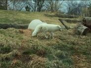 white fox Detroit zoo