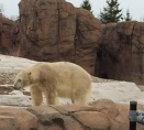 polar bear Detroit zoo 1