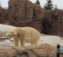 polar bear Detroit zoo 1