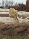 one of the polar bears at the Detroit zoo